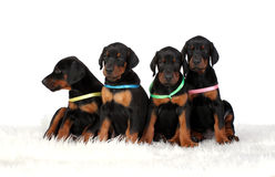 Group of dobermann puppies Royalty Free Stock Photography