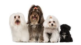 Group of dog : maltese and Havanese puppy. Isolated on white Royalty Free Stock Photography