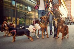 Group of dog walking on leash with couple professional dog walker royalty free stock photography