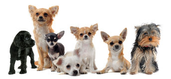Group of dogs. Group of little dogs chihuahua in front of white background royalty free stock photos