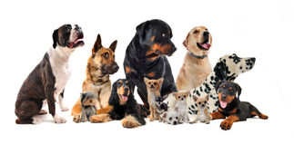 Group of dogs. Purebred  little and large dogs in a white background Stock Photography