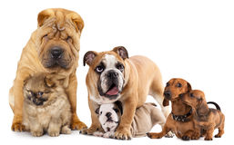 Group of dogs. Shar pei, Bulldog, Miniature Spitz, Dachshund in front of white background stock photos
