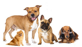 Group of  dogs Royalty Free Stock Photography