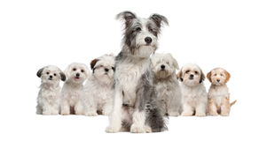 Group of dogs. Bearded Collie, Maltese, Shih Tzu, sitting in front of white background Stock Photography
