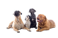 Group of dogs Royalty Free Stock Photo