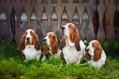 Group of dogs basset hound sitting on the grass. Group of four dogs basset hound sitting on the grass stock photo