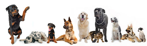 Group of dogs and cat. Cute rottweiler say hello with his paw to a group of dogs and cat Royalty Free Stock Images