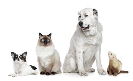Group of dogs, cat and ferret. On a white background stock photos