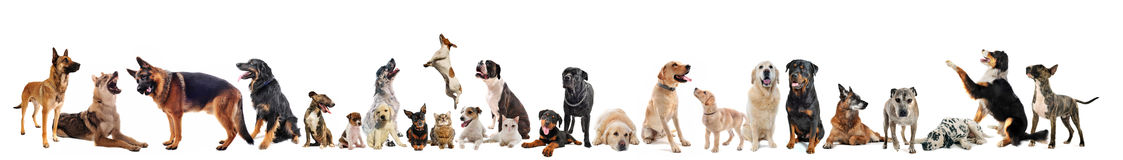 Group of dogs  and cats. Group of dogs, puppies and cats on a white background Stock Images