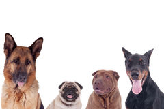 Group of dogs of different breeds Royalty Free Stock Photos