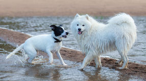 Group of dogs of different breeds playing on the seashore. Royalty Free Stock Photos