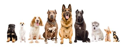 Group of dogs of different breeds. Sitting isolated on white background royalty free stock images