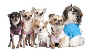 Group of dogs dressed-up. 5 chihuahuas and a Shih Tzu in front of a white background stock images