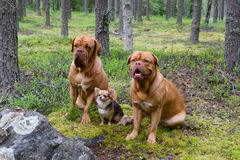 Group of dogs in the forest Stock Images