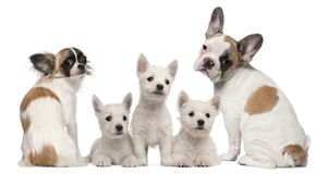 Group of dogs in front of white background royalty free stock photo