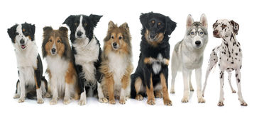Group of dogs Royalty Free Stock Images