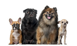 Group of dogs in front of a white background Stock Photo