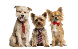 Group of dogs in front of a white background Royalty Free Stock Image