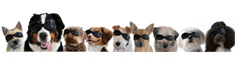 Group of dogs with goggles. Portraits of dogs in a row on white background. All dogs wearing sunglasses Stock Images