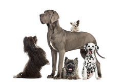 Group of dogs. Great dane, dalmatian, chihuahua Stock Photos