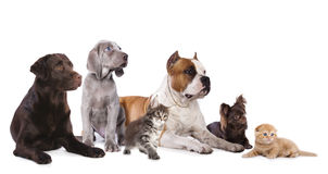 Group of dogs and kitens sitting. In front of a white background Royalty Free Stock Photography