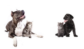 Group of dogs and kitens. Sitting in front of a white background Stock Photo