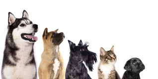 Group of dogs and kitten Stock Images
