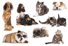 Group of dogs and kitten royalty free stock image