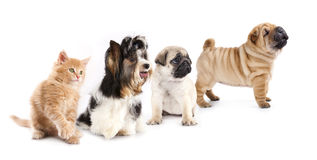 Group of dogs and kitten of different breeds Royalty Free Stock Image