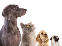 Group of dogs and kitten of different breeds Royalty Free Stock Photo