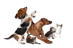 Group of dogs and kitten Royalty Free Stock Photos