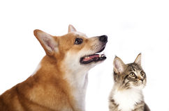 Group of dogs and kitten looking up Stock Images