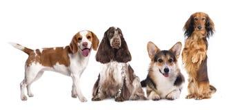 Group of dogs,. Long haired miniature dachshund, beagle, basset, Corgi royalty free stock photography