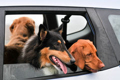 Group of dogs looking out a car window Royalty Free Stock Images