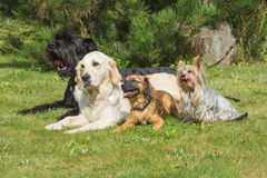 The group of dogs is lying on the lawn Stock Photography