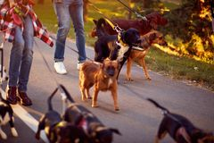 Group of dogs with man and woman and leash ready to go for a walk royalty free stock photography