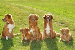 Group of dogs Nova scatia duck tolling retriever Stock Photos