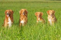 Group of dogs Nova scotia duck tolling retriever Stock Image