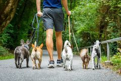 Dogs with leash and owner ready to go for a walk. Group of dogs with owner and leash ready to go for a walk or walkies , outdoors outside at the park stock photography