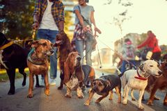 Group of dogs in the park walking with dog walker
