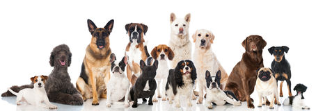 Group of dogs. Group of pedigree dogs isolated on white Stock Photos