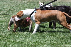 Group of Dogs Playing Stock Photography