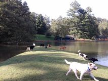 A Group of Dogs Playing at the Lake. An assortment of dog breeds running and playing together at the lake Royalty Free Stock Images