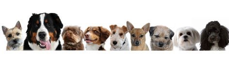 Group of dogs. Portraits of dogs in a row on white background stock image