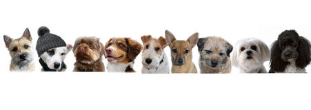 Group of  dogs. Portraits of  dogs in a row on white background, one is something special, he wears a hat Stock Photos