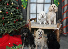 Group of dogs posing for their Christmas portrait. A group of dogs including a Bichon, a poodle and some other mixed breed dogs all posing for their Christmas Royalty Free Stock Photography