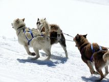 Sled dogs in the snow stock photos