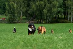 A group of dogs is racing. royalty free stock photos