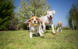 Group of dogs running. Over the lawn stock photography