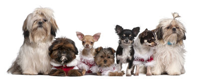Group of dogs sitting. In front of white background royalty free stock image